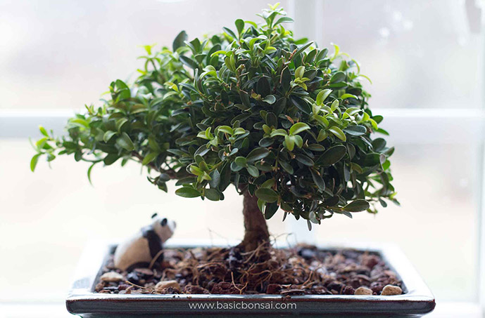 Boxwood Bonsai Tree on Window Sill