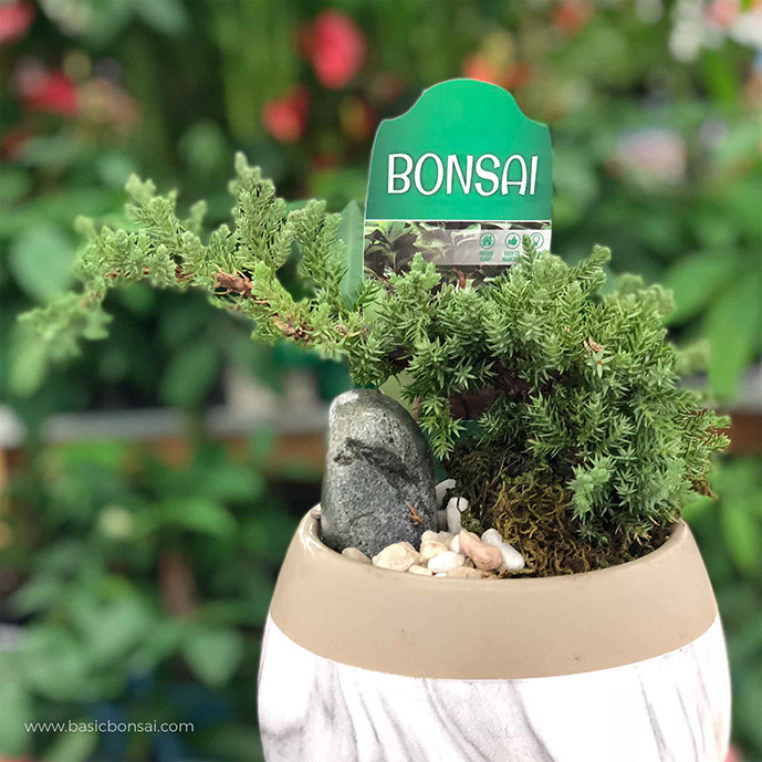Juniper Bonsai in Round Pot