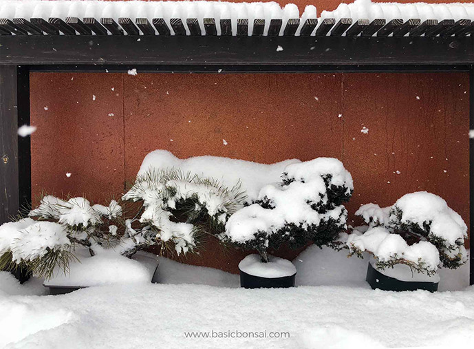 Bonsai Covered by Snow