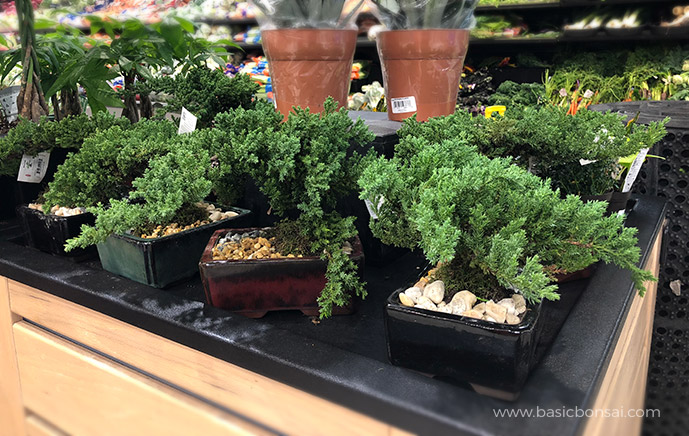 Juniper Bonsai in Supermarket