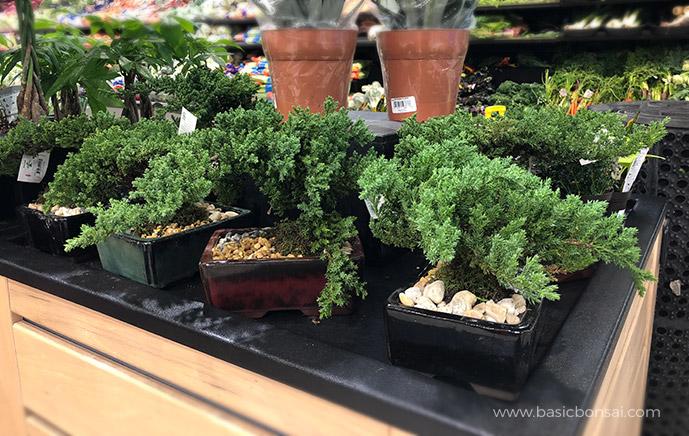 Juniper Bonsai in Supermarket