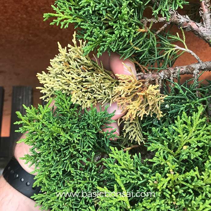 Dead Bonsai Branch