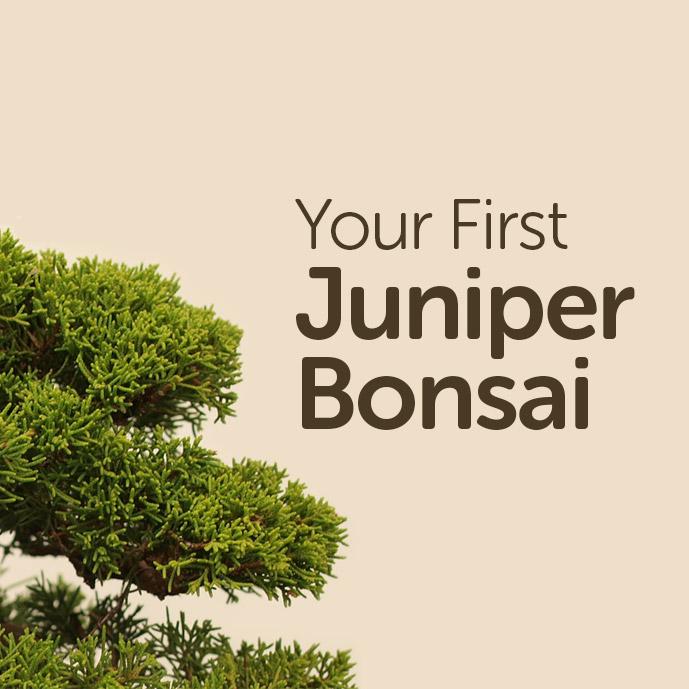 Your First Juniper Bonsai Tree Basic Bonsai