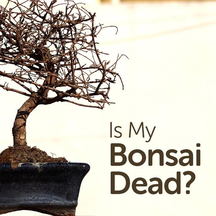 Is My Bonsai Tree Dead?