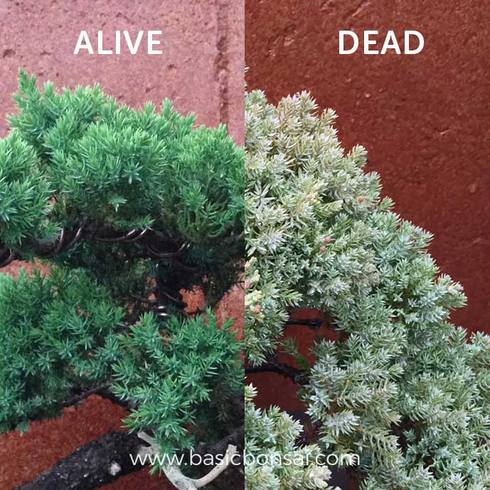 Bonsai Tree Dead Foliage