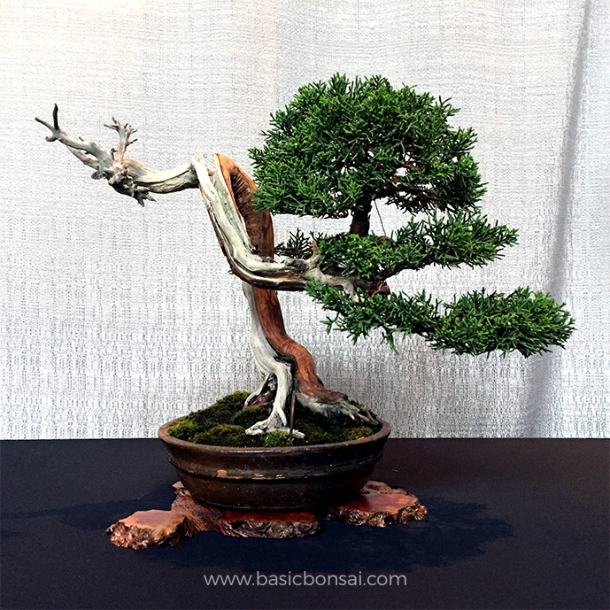 Is My Bonsai Tree Dead? - Basic Bonsai