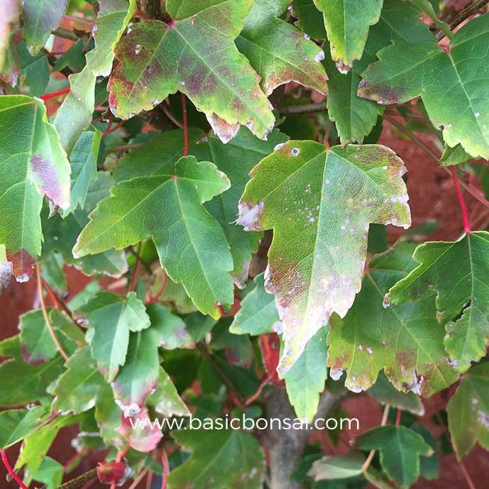 Bonsai Leaf Scorch