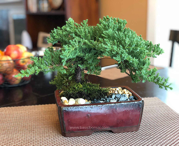 Basic Juniper for Bonsai Tree Care