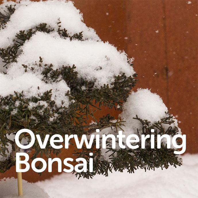 Overwinter Bonsai